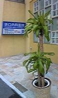 DVC00055koufukunoki