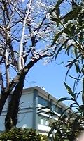 sakura sienngakkou.jpg